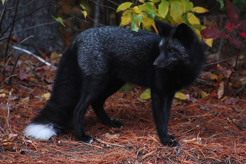 A wild fox with dark fur stands in the forest.