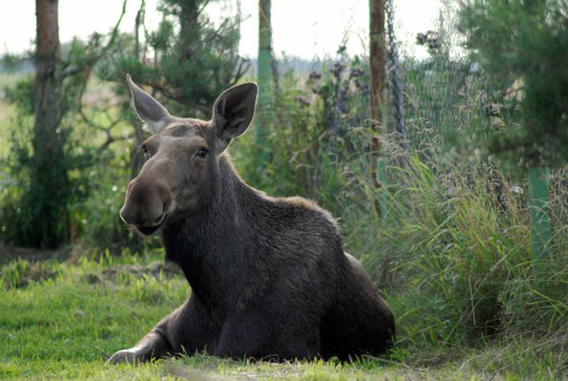 moose-lying-in-grass