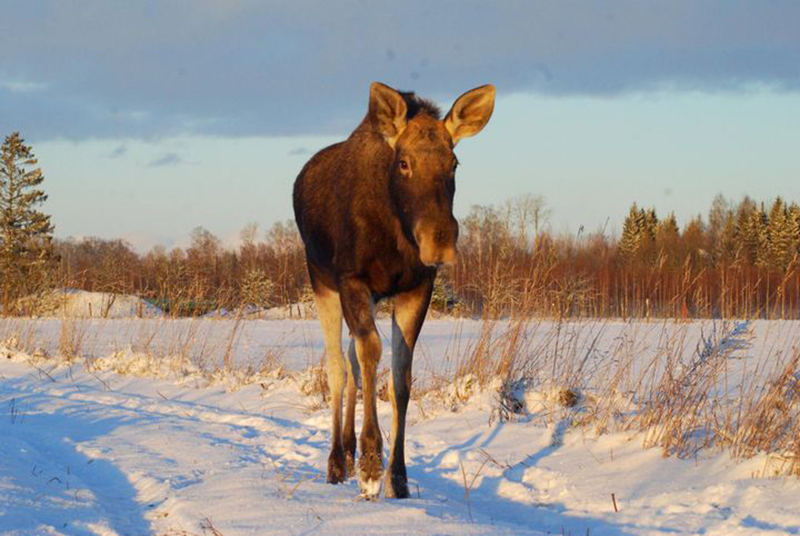 A moose walks in snow.