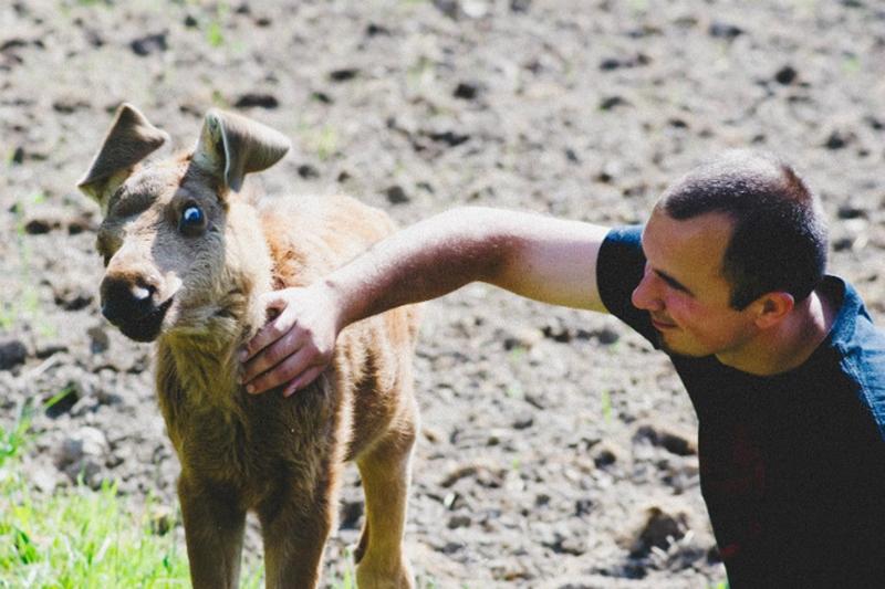 A man pets a baby moose.