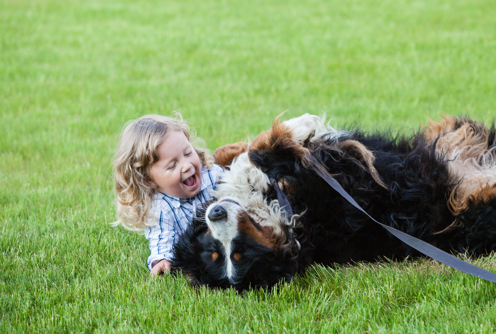 Bernese Mountain Dogs Love Everything