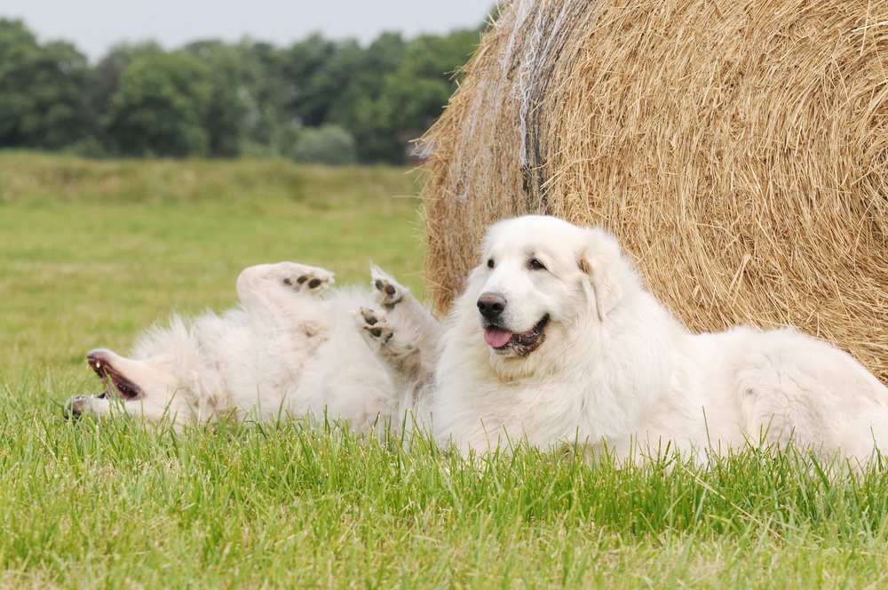 The Great Pyrenees Are More Watchful Than Vocal