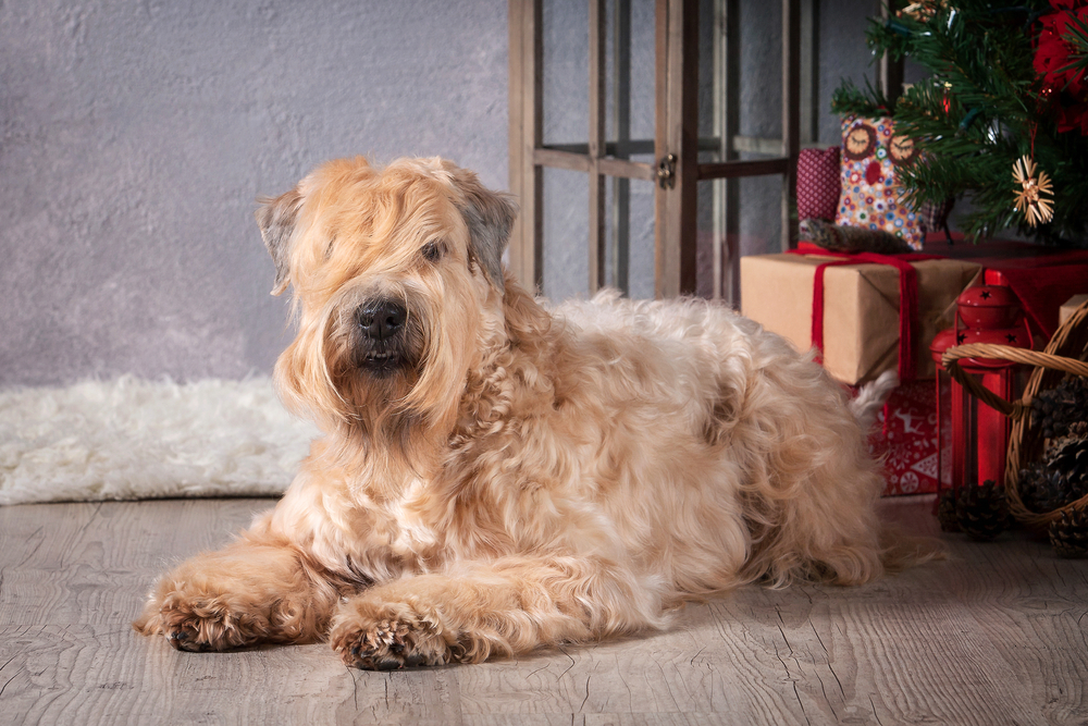 Soft-Coated Wheaten Terriers Will Give You A Wheaten Geetin'