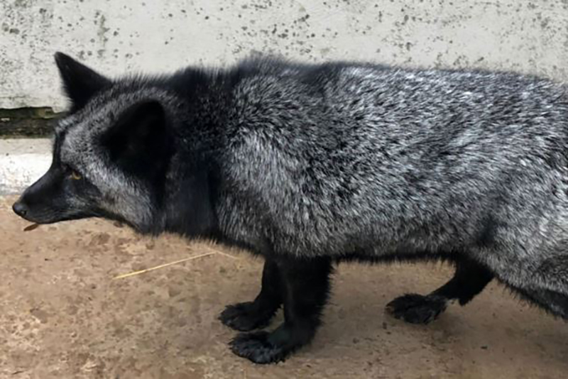An animal with a black and silver coat walks in a couple's utility room.
