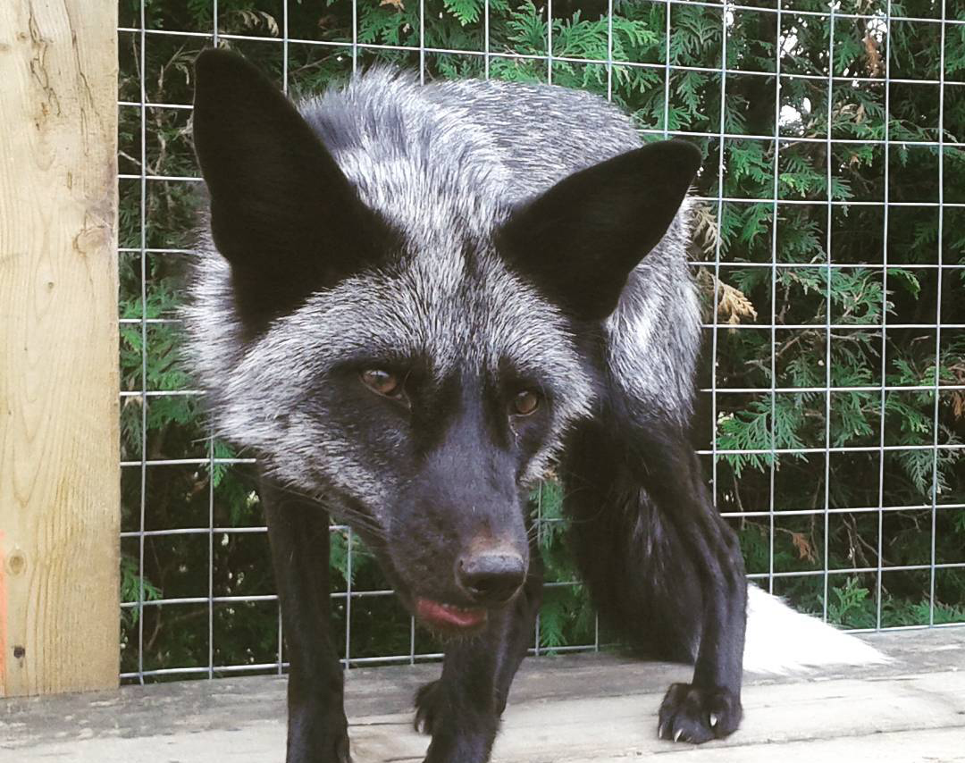 A melanistic silver fox is held in a cage.