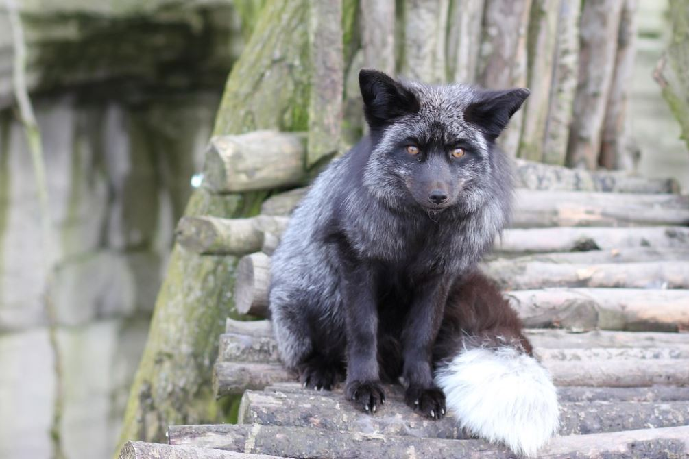 A black fox is startled by an announcement at the Zoo Osnabruck.