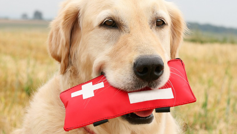 A Golden Retriever holds First-Aid-Kit.