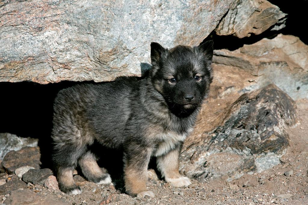 Greenland puppy