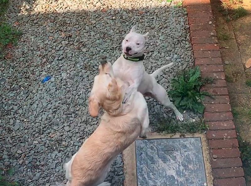 Lola and Loki look like they're dancing in the yard.