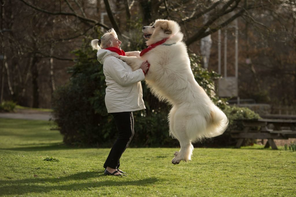 pyrenean-mountain-dog