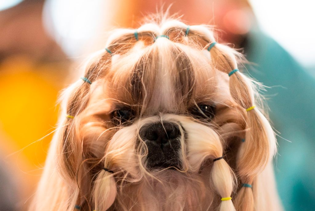 a dog getting ready for the westminster dog show