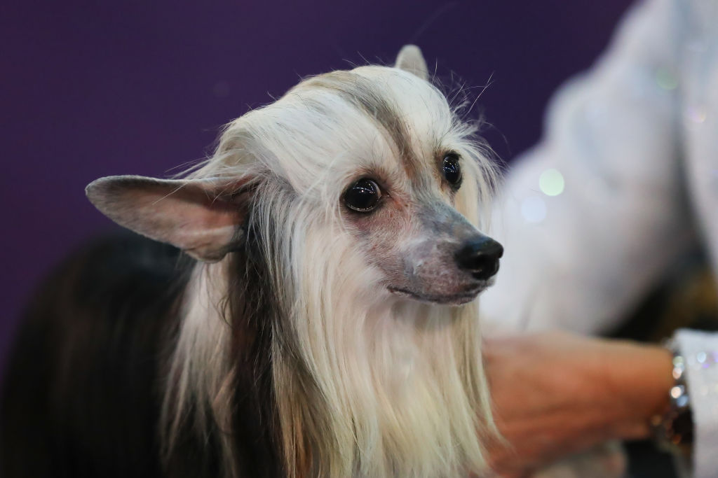 a dog with wavy hair