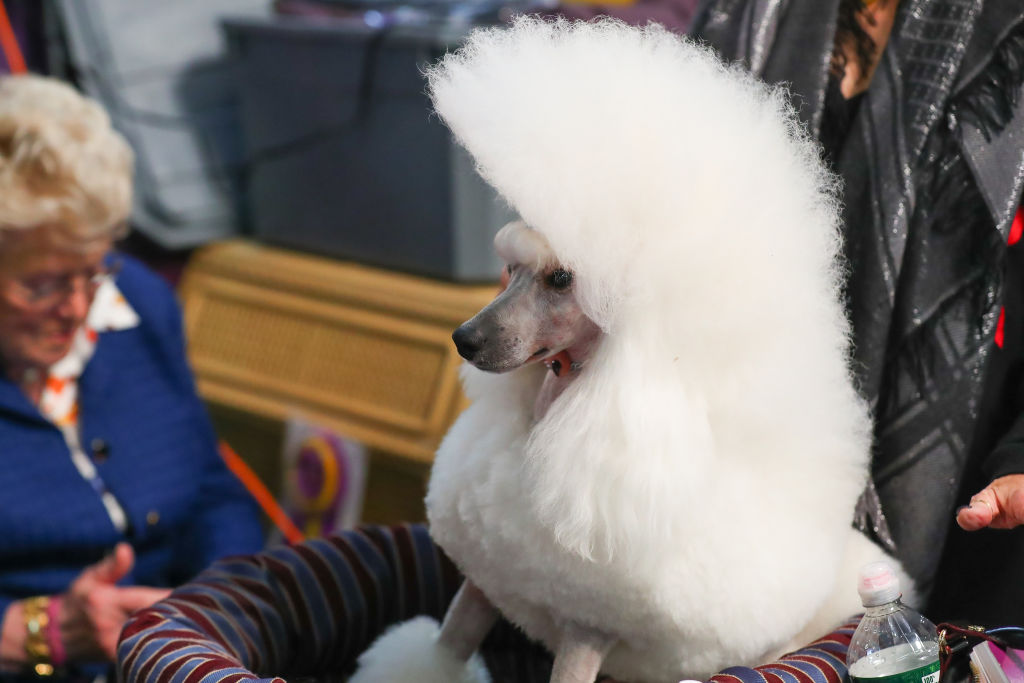 a poodle with very large hair