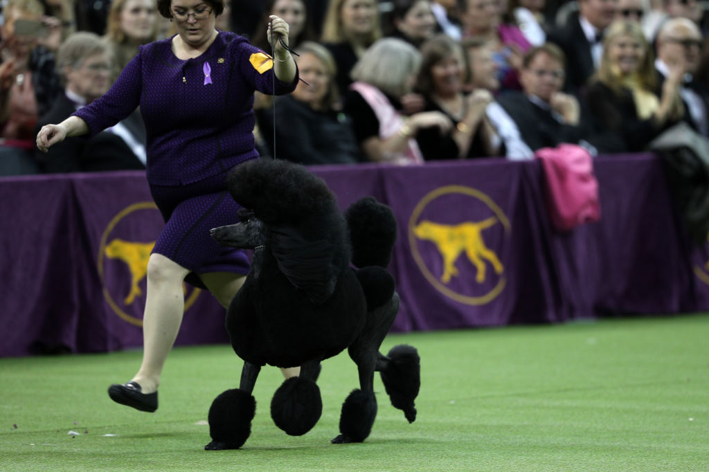 a dog at show being led by its handler