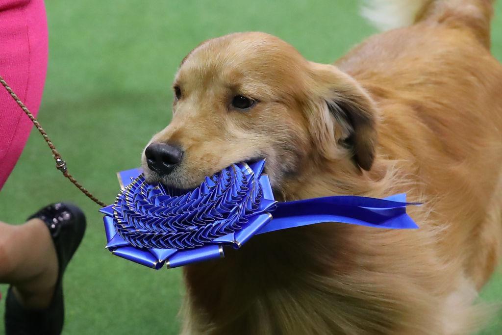 winning dog holding a ribbon