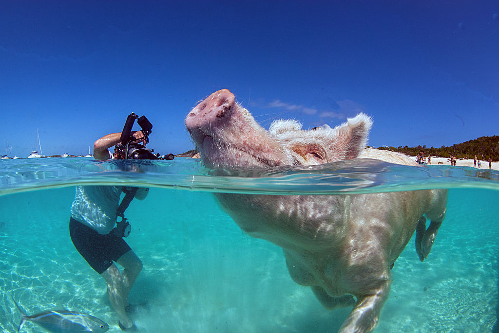 this pig swims