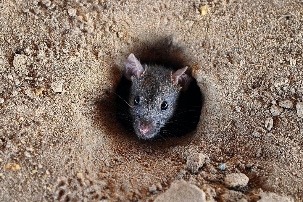 tiny rat coming out of a hole