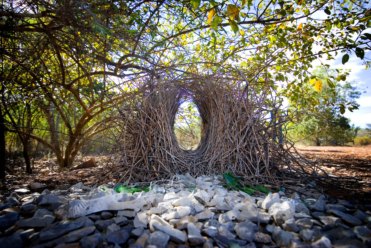 A giant bowerbird nest made out of twigs is seen.