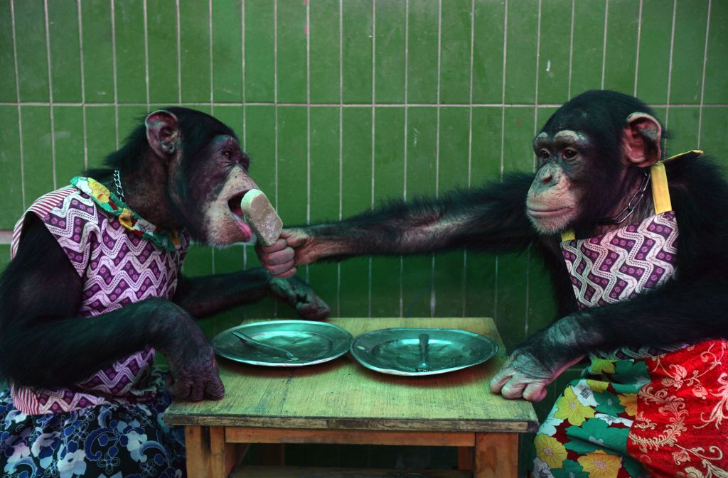 a chimp in an apron