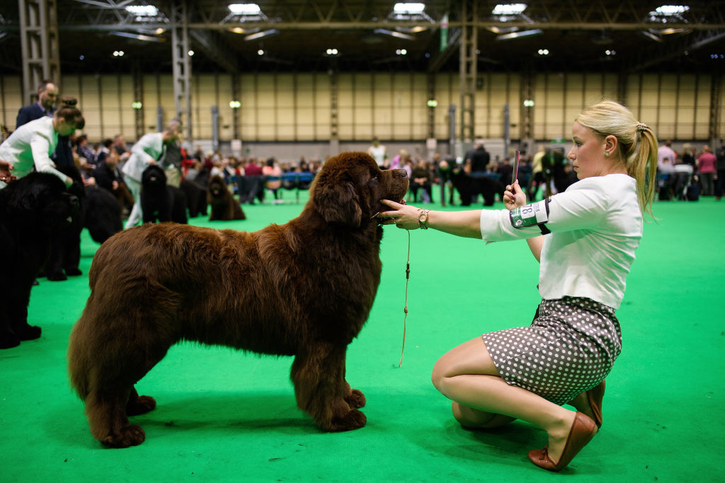 dog standing at show