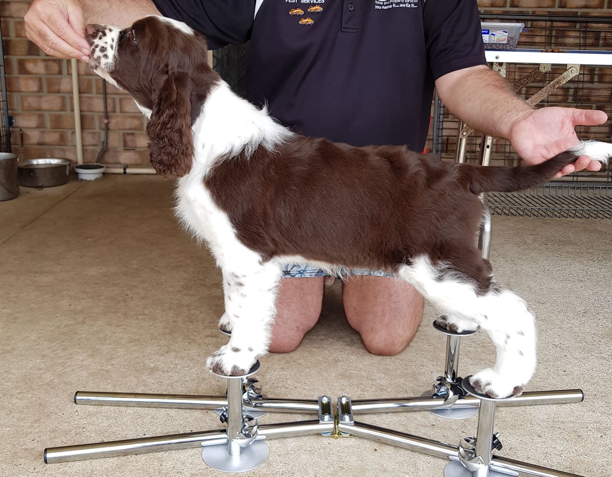 Showstackers product being used on dog