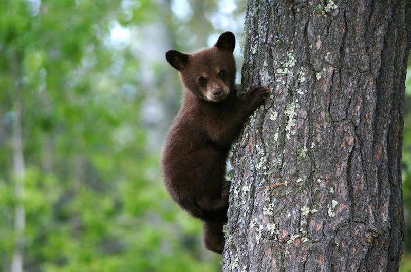 baby-bear-climbing-tree