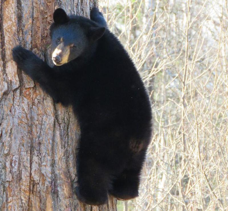 bear-climbing-tree