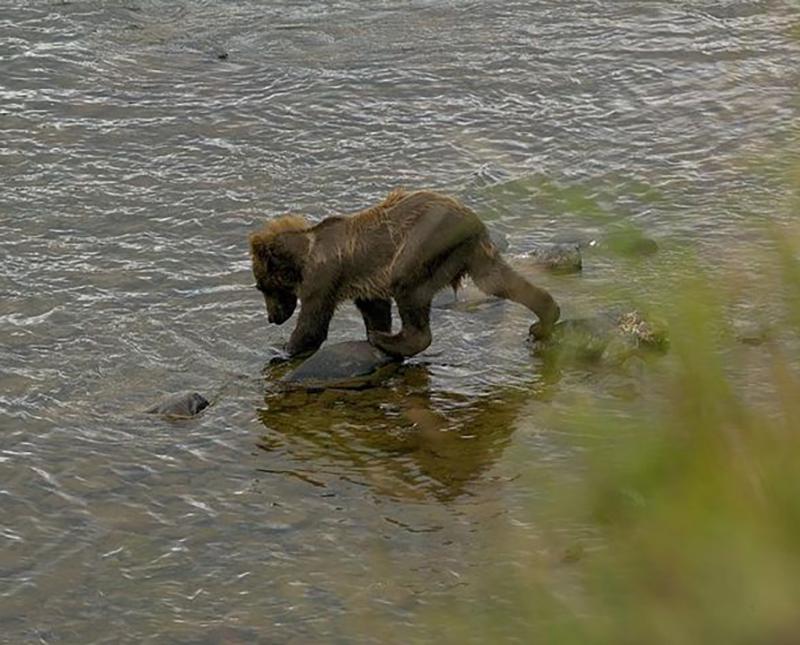 bear-cub-in-water