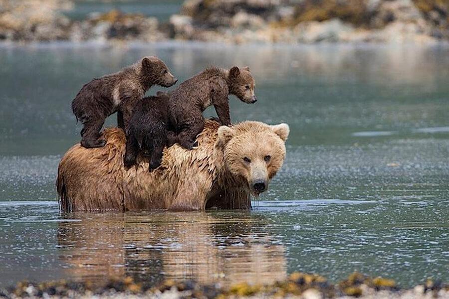 bear-cubs-on-mom-87140-40801