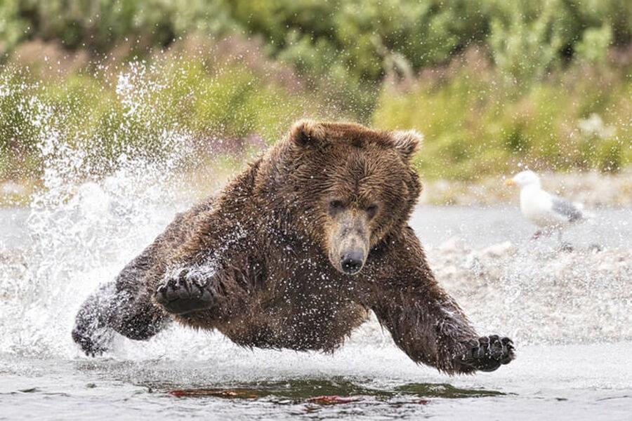 bear-diving-28158-60351