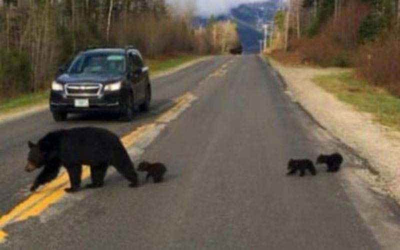 bears-crossing-the-road