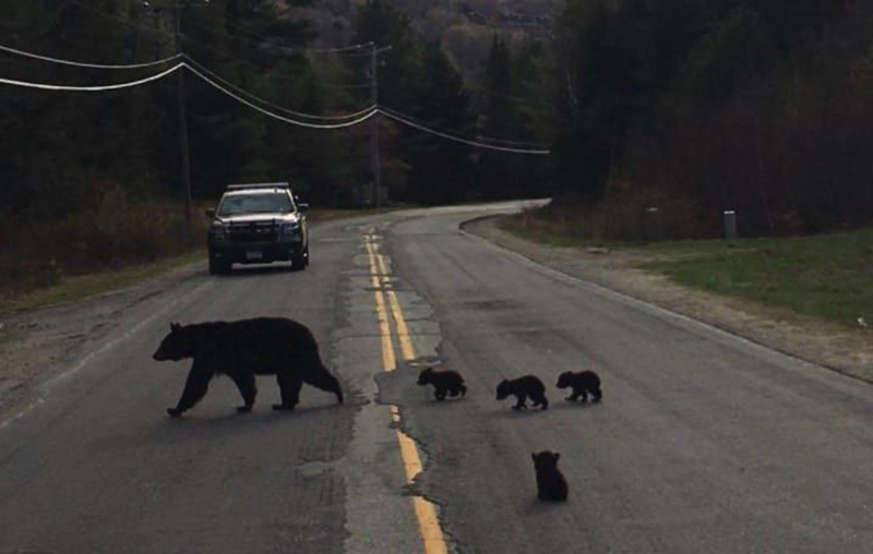 bears-in-the-road