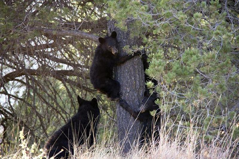 black-bears-climbing-a-tree
