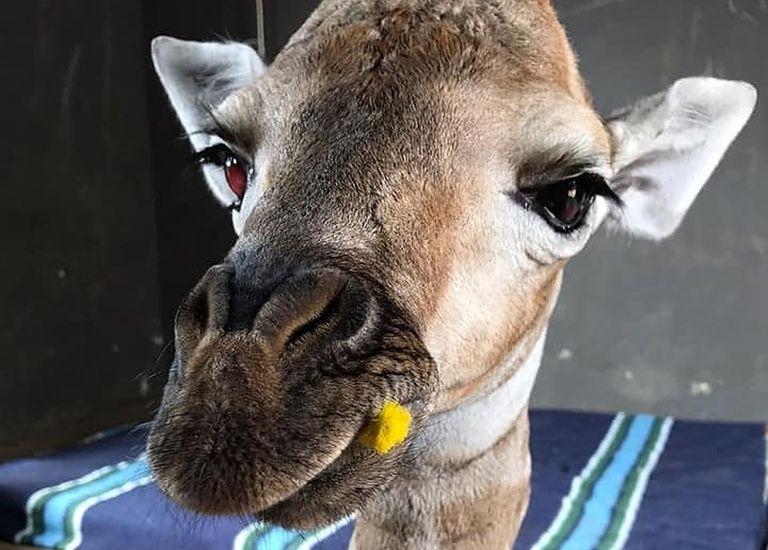 giraffe-eyes