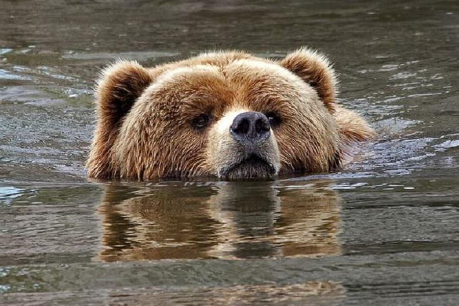 momma-bear-swims-away-56901-56799