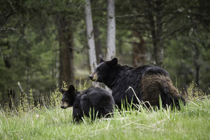 mother-bear-with-large-cub