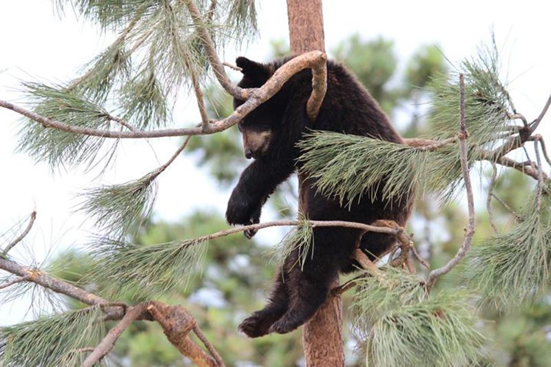 young-bear-in-tree