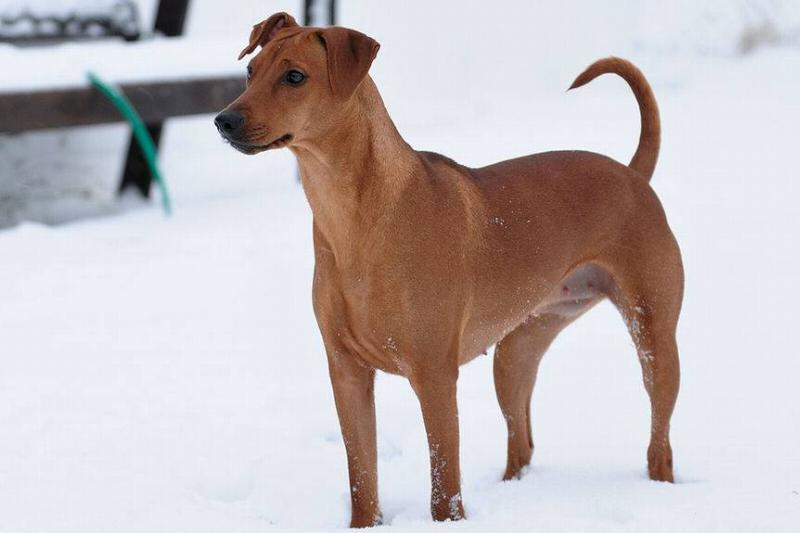 A German Pinscher stands in the snow.