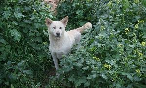 A blonde Canaan dog stands in the bushes.