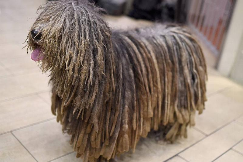 A Bergamasco stands on tile flooring.