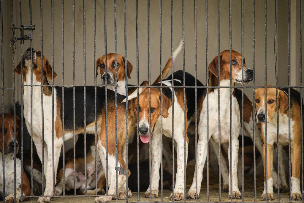 English Foxhounds are gathered in a kennel.