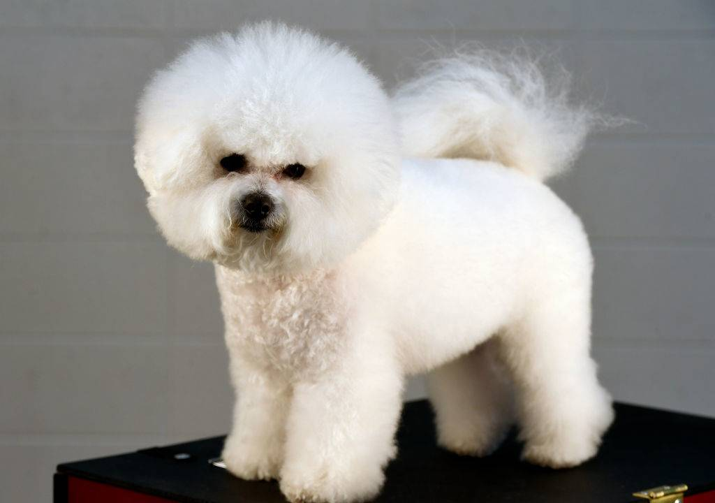 A Bichon Frise poses on a black stand.