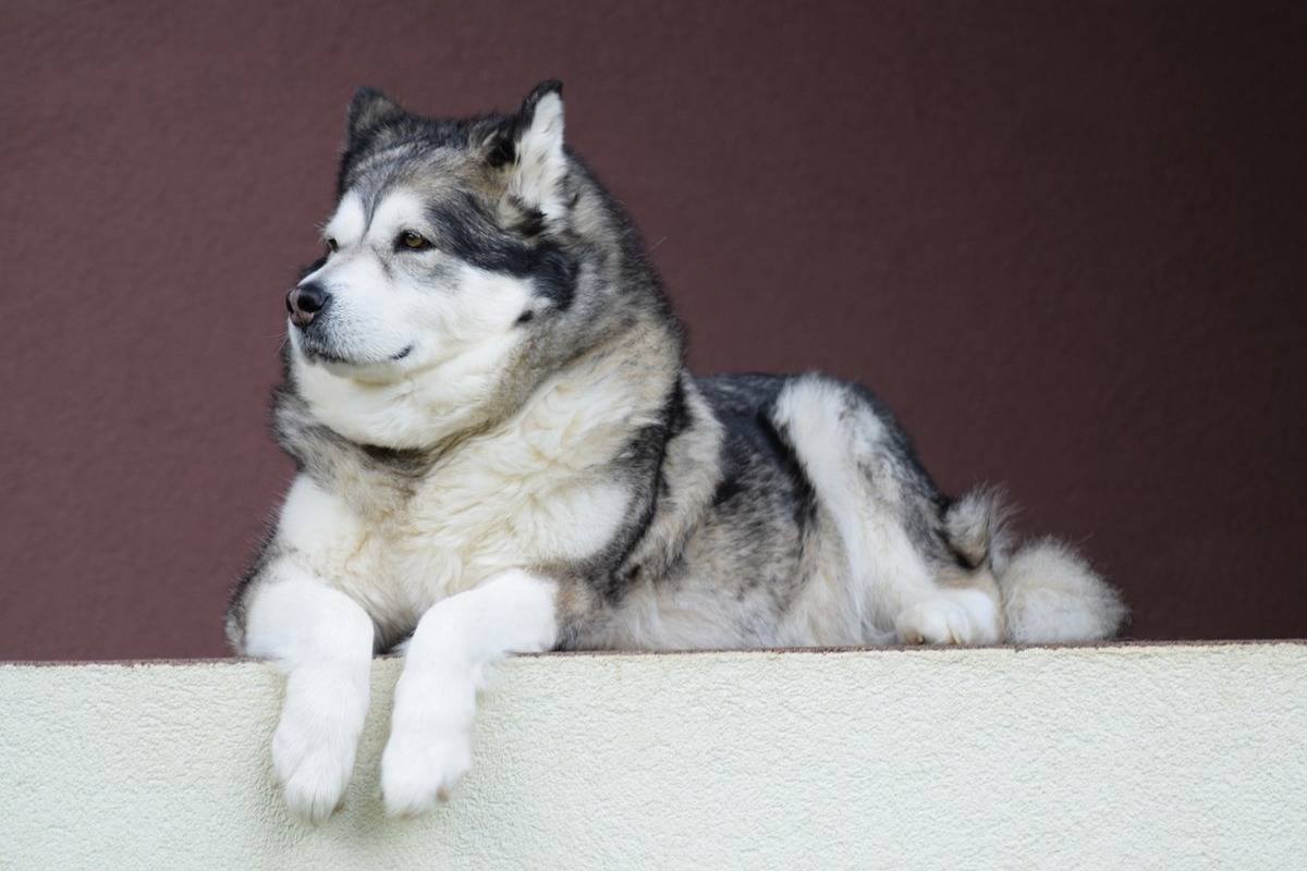 An Alaskan Malamute lays on its stomach on a ledge.