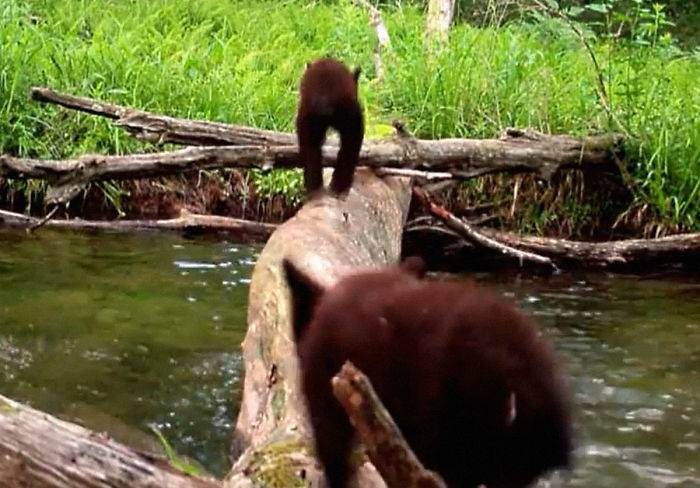 Two bear cubs cross the log.