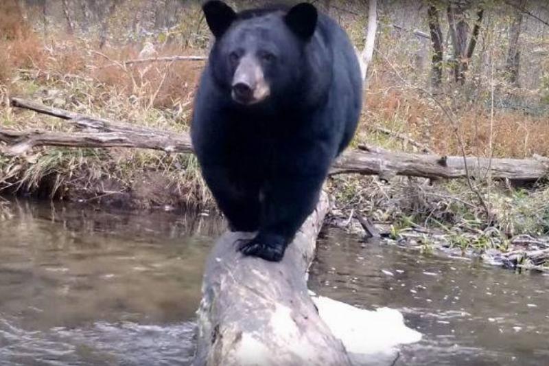 A black bear walks across the log.