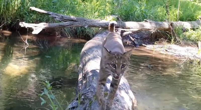 A cat crosses the log.