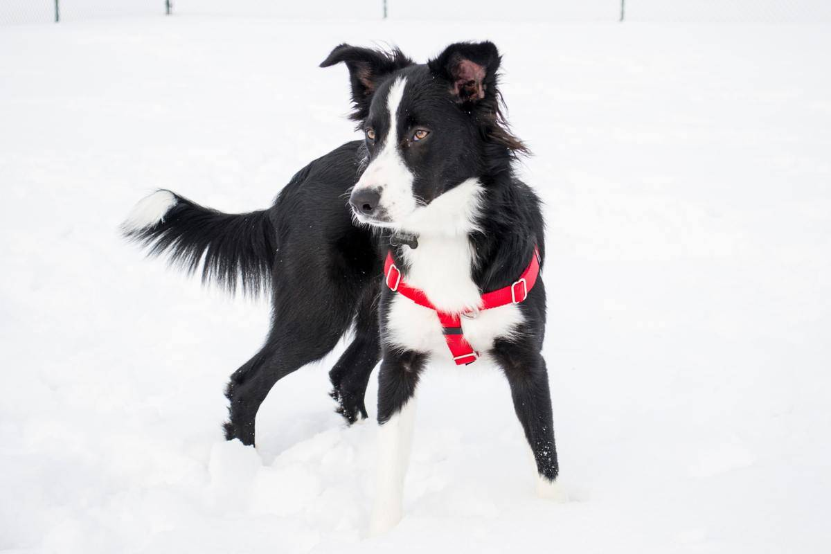 A Border Collie stands in the snow.