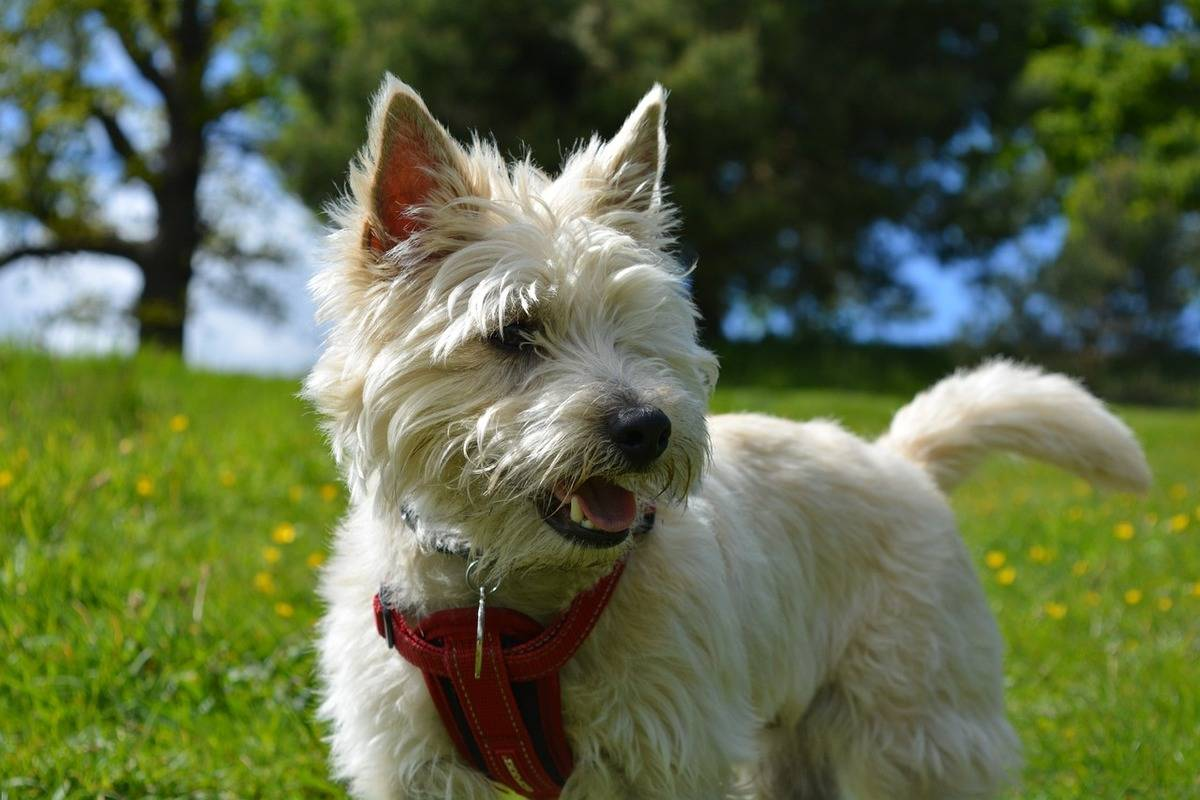 A Cairn Terrier stands in a park.