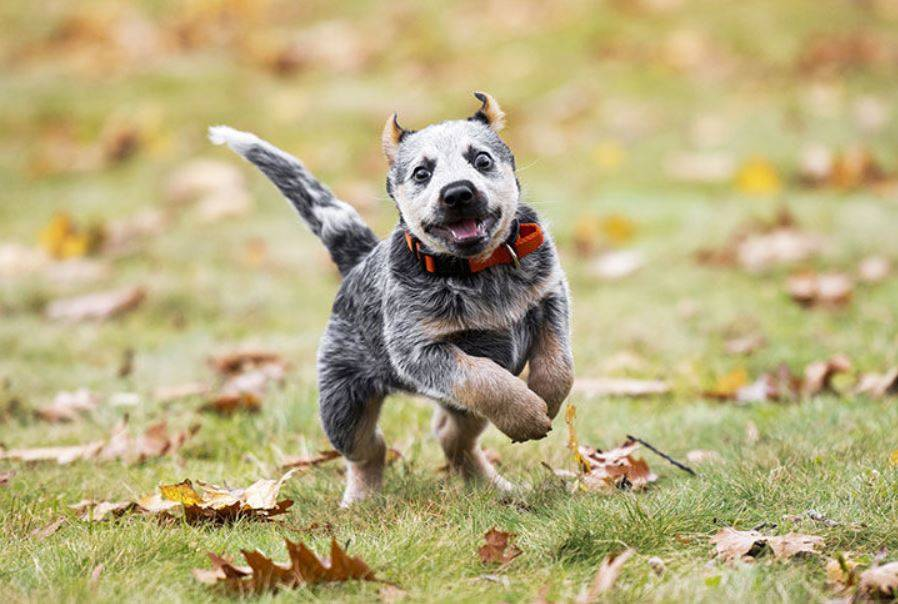 cattle-dog-healthy-breed