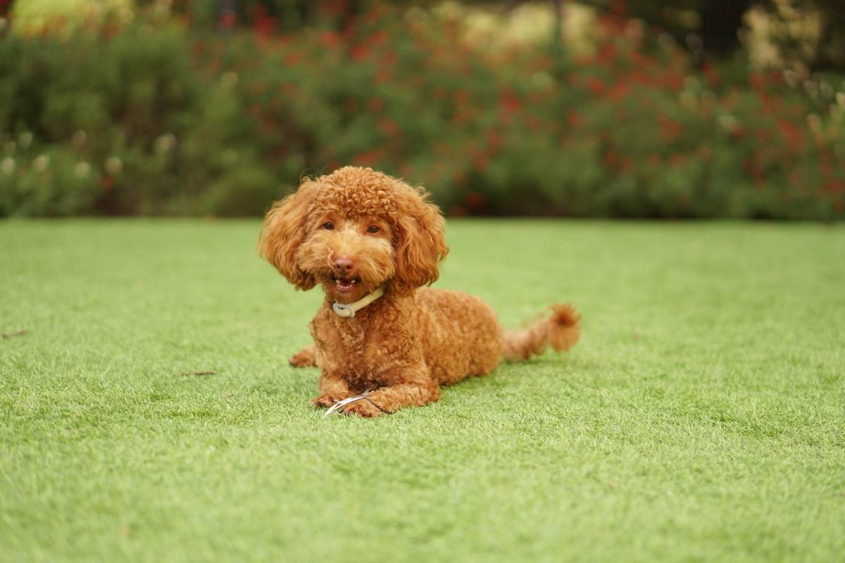 chocolate-poodle
